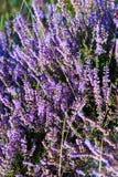 Пурпуровый дождь Стоковые Фотографии RF