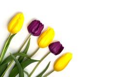 пурпуровый желтый цвет тюльпанов Стоковое Изображение