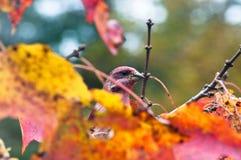 Пурпуровый зяблик пряча в листве падения Стоковое Изображение RF