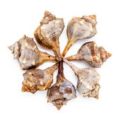 Пурпуровый или Spiny Murex краски, bolinus Brandaris Стоковая Фотография RF