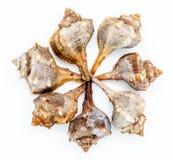 Пурпуровый или Spiny Murex краски, bolinus Brandaris Стоковое фото RF