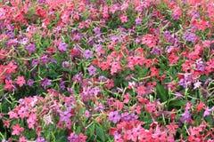 пурпуровый красный цвет Стоковое Фото