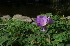 Пурпуровый крокус осени Стоковая Фотография RF