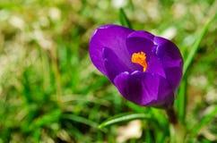 Пурпуровый крокус Стоковая Фотография RF
