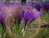 Пурпуровый крокус Стоковое фото RF