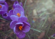 Пурпуровый крокус Стоковые Изображения