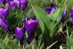 Пурпуровый крокус Стоковые Изображения RF