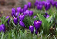 Пурпуровый крокус Стоковые Фото
