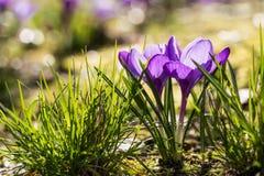Пурпуровый крокус Стоковое Фото