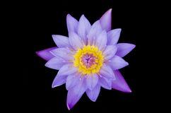 Пурпуровый лотос на черной предпосылке Стоковые Изображения RF