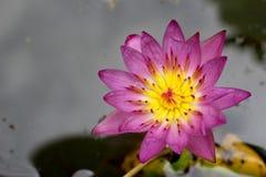 Пурпуровый лотос Стоковые Фотографии RF