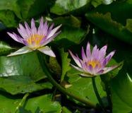 Пурпуровый лотос. Стоковые Фото