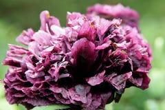 Пурпуровый мак Стоковые Изображения RF