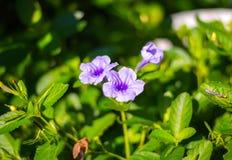 пурпуровый дождь Стоковое Фото
