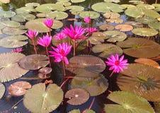 Пурпуровый лотос Стоковые Изображения RF