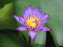 Пурпуровый лотос Стоковое Изображение RF