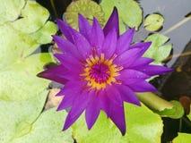 Пурпуровый лотос Стоковые Изображения