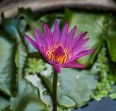Пурпуровый лотос Стоковое Изображение