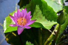 Пурпуровый лотос Стоковая Фотография