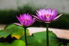 Пурпуровый лотос стоковое фото
