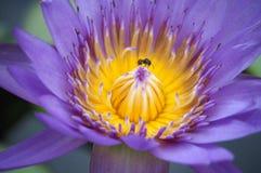 Пурпуровый лотос Стоковое фото RF