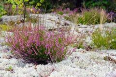 Пурпуровый покрашенный вереск в природе Стоковые Фотографии RF