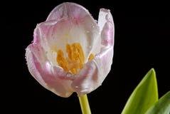 пурпуровый тюльпан Стоковые Изображения