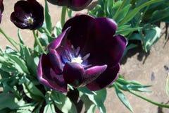 пурпуровый тюльпан Стоковые Изображения RF