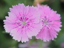 Пурпуровый цветок бабочки Стоковые Фотографии RF
