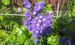 Пурпуровый цветок колокола Стоковые Изображения RF