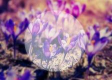 Пурпуровый цветок крокуса Стоковое Изображение RF