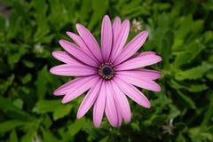 Пурпуровый цветок маргаритки Стоковая Фотография