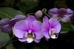 Пурпуровый цветок орхидеи стоковая фотография rf