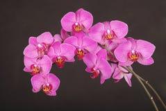 Пурпуровый цветок орхидеи Стоковое Изображение