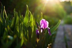 Пурпуровый цветок радужки Закройте вверх по цветку детали зацветая весной, расплывчатая предпосылка листьев зеленого цвета Стоковое фото RF