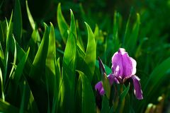 Пурпуровый цветок радужки Закройте вверх по цветку детали зацветая весной, расплывчатая предпосылка листьев зеленого цвета Стоковое Изображение