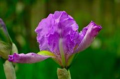 Пурпуровый цветок радужки Стоковое Изображение RF