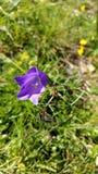 Пурпуровый цветок Стоковые Изображения