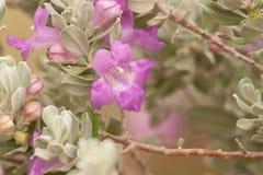 пурпуровый шалфей Стоковые Изображения