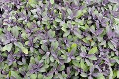 пурпуровый шалфей Стоковая Фотография RF
