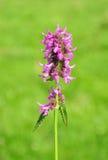 Пурпуровый betony (officinalis Betonica) Стоковое Изображение RF