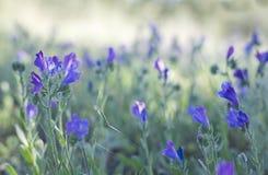 Пурпуровый Bugloss змеенжшей Стоковая Фотография