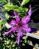 Пурпуровый clematis стоковое изображение