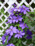 Пурпуровый clematis Стоковая Фотография