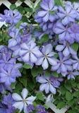 Пурпуровый clematis стоковые фотографии rf