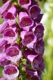 Пурпуровый foxglove Стоковое Изображение