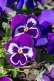 Пурпуровый pansy Стоковые Изображения RF