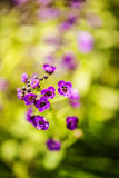 Пурпуровый Phlox Стоковые Изображения RF