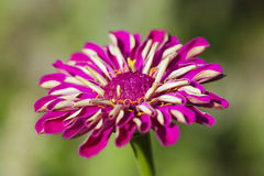Пурпуровый striped Zinnia Стоковое Изображение RF