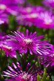 Пурпуровый succulant крупный план цветков Стоковые Фотографии RF